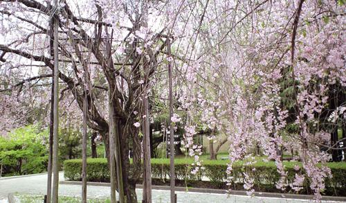 神戸大学の枝垂れ桜