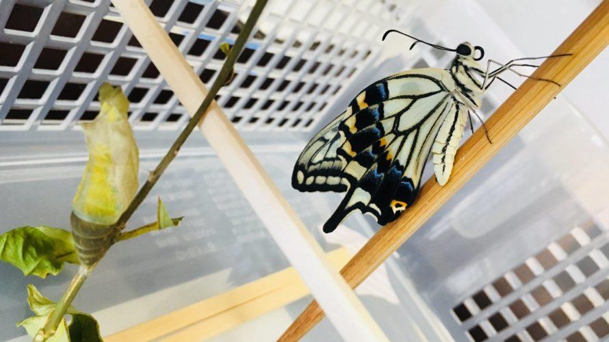 アゲハチョウが羽化